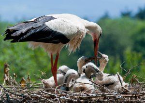 Ooievaar met nest