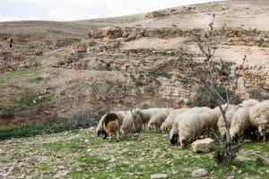 Schapen in de bergen van Israël